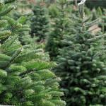 Alberi di Natale al vivaio Piantaviva di Senigallia