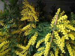 Mimosa, festa della donna, 8 marzo