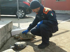 Le Tartarughe salvate dalla Guardia Costiera