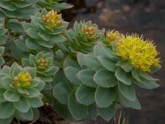 Rhodiola rosea: fiori