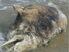 Delfino morto