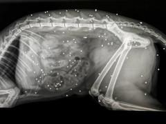 La lastra dell'animale domestico impallinato più di settanta volte