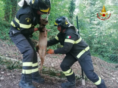 Vigili del Fuoco recuperano tre cuccioli di capriolo ad Arcevia