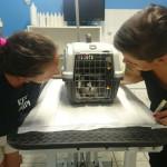 Una gattina abbandonata e ricoverata con le volontarie dell'Associazione gattofili anonimi senigalliese onlus