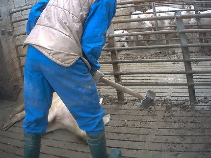 Maiali maltrattati a Senigallia - Foto Essere Animali