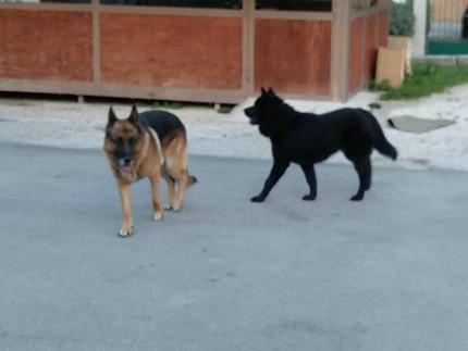 due cani di grossa taglia smarriti nei pressi all'edicola della Pace