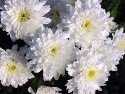 Vasto assortimento di fiori recisi al Vivaio Piantaviva di Senigallia