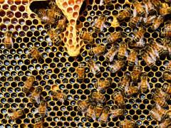 Api, miele, apicoltura