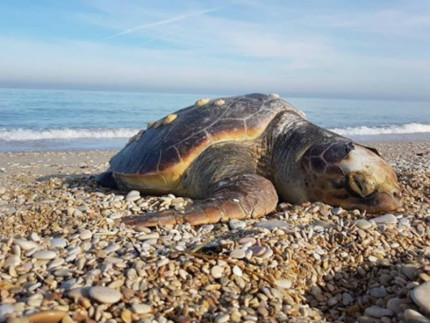 carcassa di tartaruga ritrovata sulla spiaggia di Marzocca