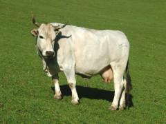 Mucca, allevamento, bovini