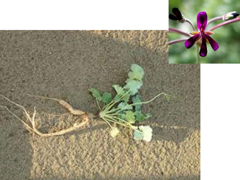 Pelargonium sidoides, famiglia Geraniaceae