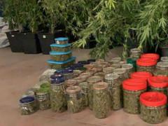 Marijuana sequestrata ad Urbino