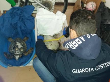 tartarughe marine salvate dalla Guardia Costiera di Senigallia