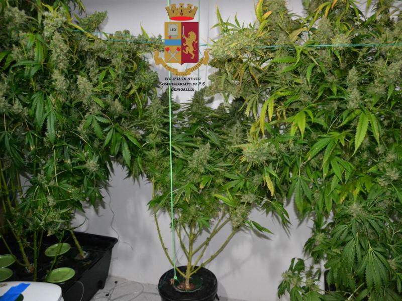 Piante di marijuana sequestrata dalla Polizia