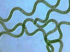 Micro-alga verde-azzurra, Spirulina