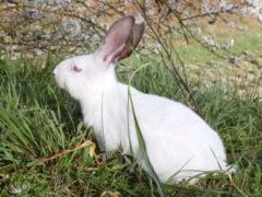 conigli, conigli bianchi