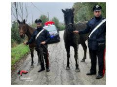 I cavalli recuperati dai Carabinieri