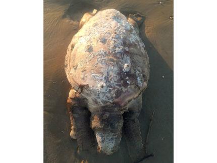 tartaruga marina senza vita