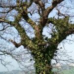 Alberi, quercia, edera