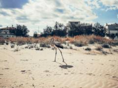 Fenicottero sulla spiaggia del Cesano