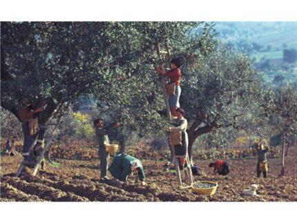 Mario Carafòli, Raccolta delle olive nella campagna di Corinaldo,1960