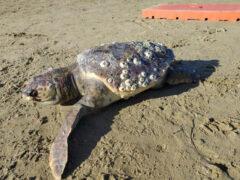 La carcassa della tartaruga marina