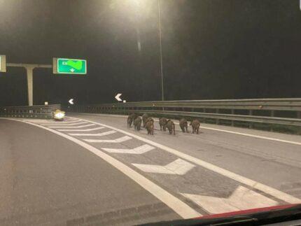 Cinghiali in autostrada
