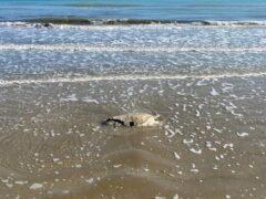 Carcassa di tartaruga Caretta Caretta spiaggiata a Senigallia