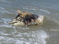 Carcassa di delfino