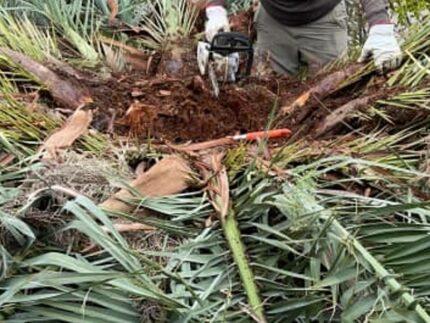 Una palma alle Saline danneggiata dal punteruolo rosso