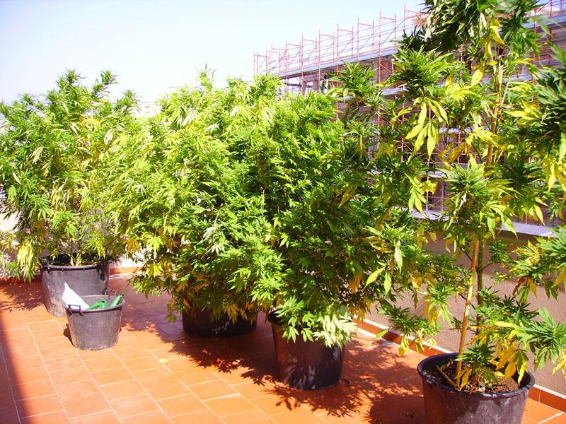 Senigallia sequestrate dalla polizia 4 piante di for Piante da giardino alte 2 metri