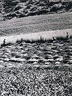 """""""Mietitori"""", 1956. Foto di Riccardo Gambelli. Tutti i diritti riservati"""
