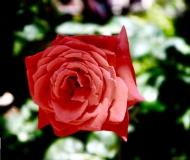 16/07/2020 - La regina dei fiori