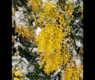 08/03/2021 - Mimose fresche!