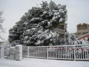 Grosso pino caduto in via Rovereto