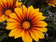 01/06/2013 - Fiori arancio