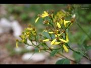 08/06/2013 - Piccoli fiori gialli
