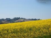 22/06/2013 - Campo di fiori gialli