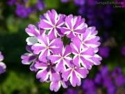 23/06/2013 - Bouquet di bianco e viola
