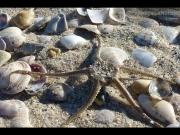 30/07/2015 - Conchiglie e una stella marina sulla spiaggia