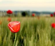 16/05/2016 - Papaveri in fiore