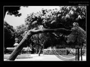 Alberi carichi di neve nei Giardini Morandi - Leopoldi-1934