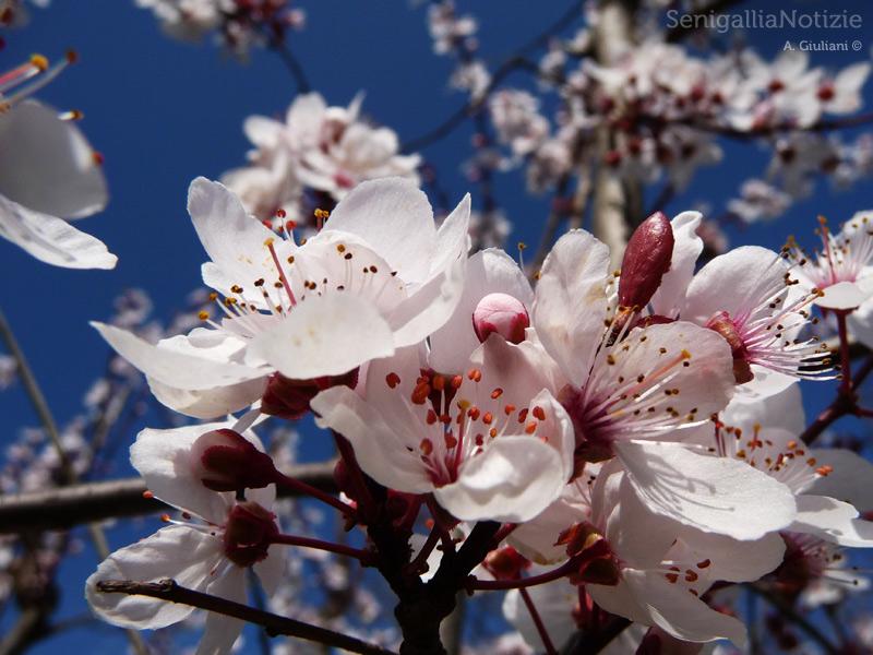 28/03/2013 - Mandorlo in fiore