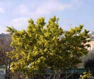 26/03/2016 - Mimosa fiorita