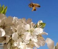 21/03/2019 - La prima ape di primavera