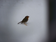 Pettirosso nella neve a Vallone di Senigallia