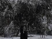 Albero innevato a Casine di Ostra