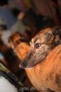 Cani a lungomare a Senigallia