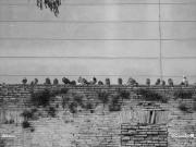 11/01/2011 - Piccioni a riposo sulle mura di Senigallia