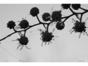 12/01/2011 - Rugiada sugli alberi di Senigallia
